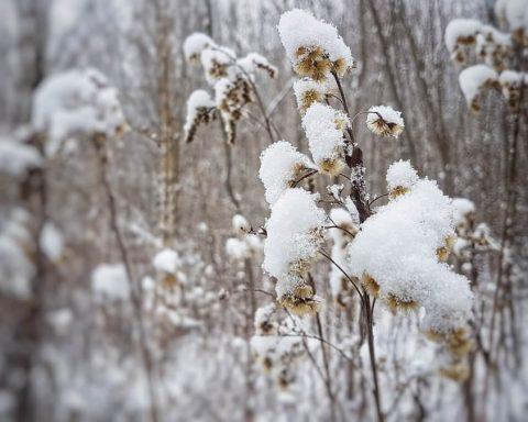 śnieg na roślinach
