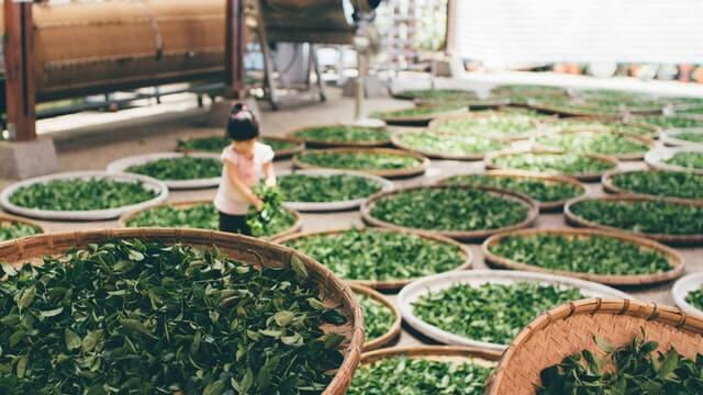 chiny-zbiory herbaty