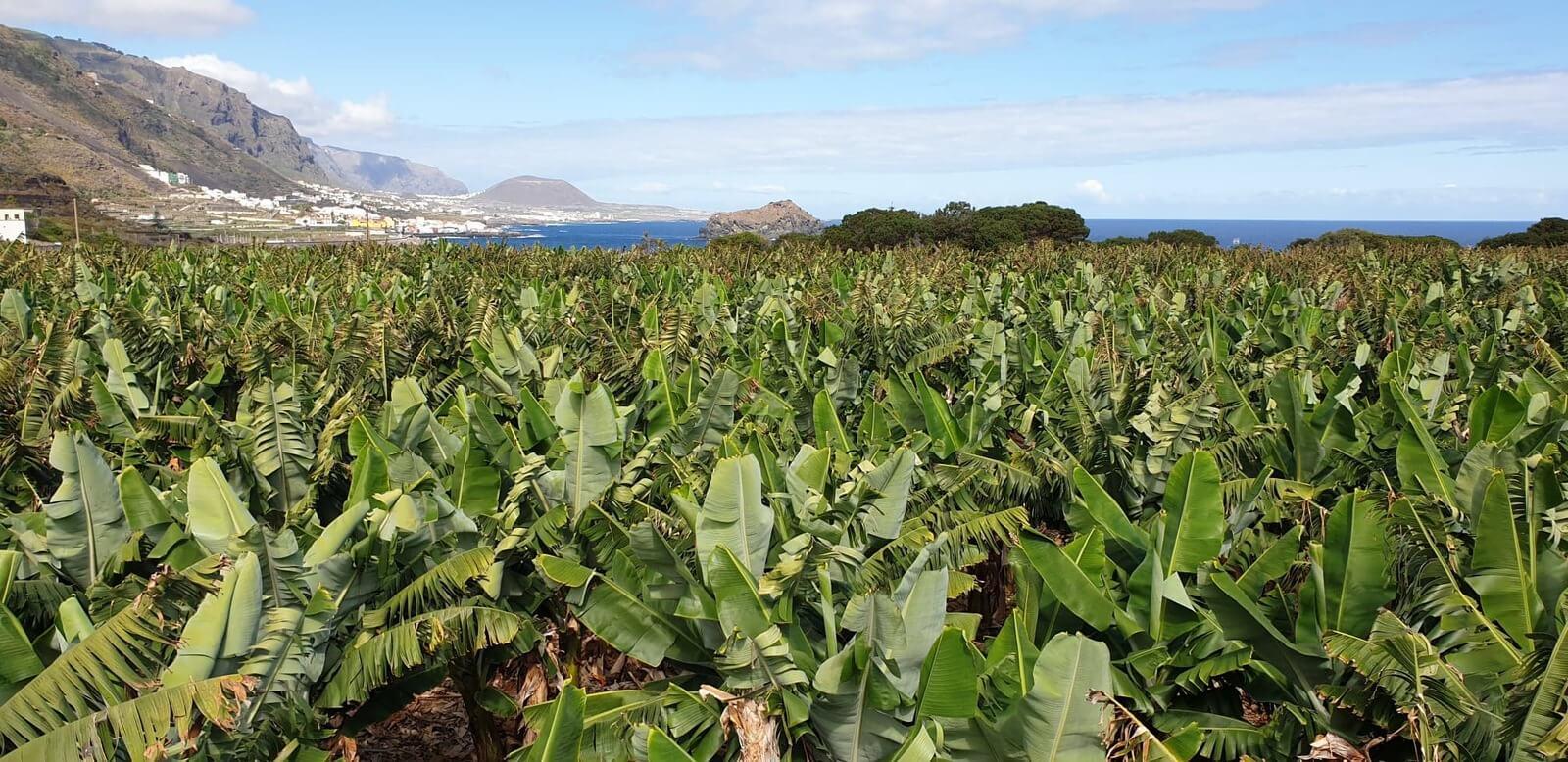 plantacja bananów na wyspie Teneryfa