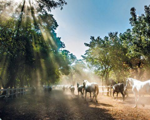 konie biegnące po padoku