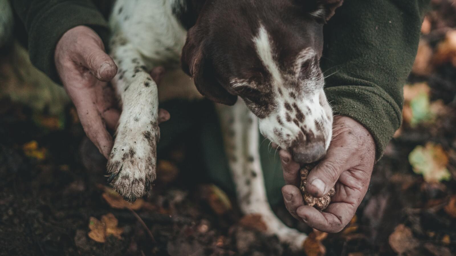 pies wąchający truflę trzymaną w męskiej dłoni