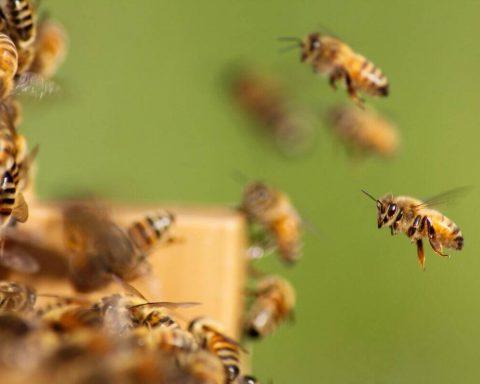 pszczoły przy ulu